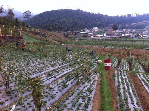 kebun strawbery sarangan